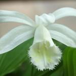 Pleione formosana 'Alba' - Tibetorchidee