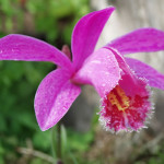 Pleione grex. 'Asama Red Grouse'